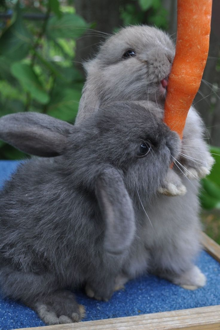 1000+ images about Holland Lop Ear Rabbits on Pinterest