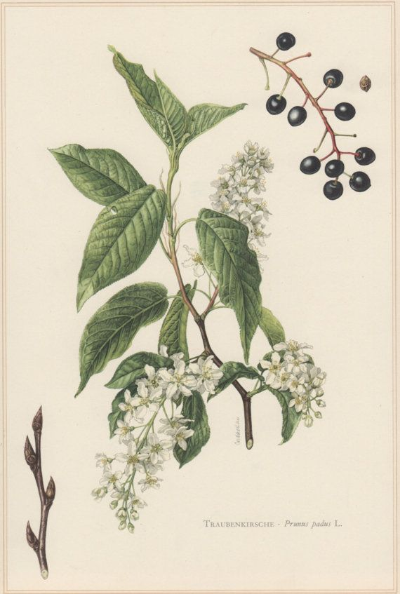 1960 Vintage Botanical Print Bird cherry Prunus by Craftissimo