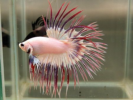 Funky pink comb tail betta you can find this very fish for What is a beta fish