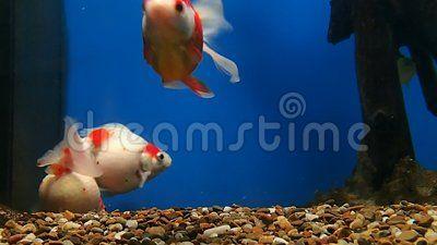 Three golden fish swimming in an aquarium