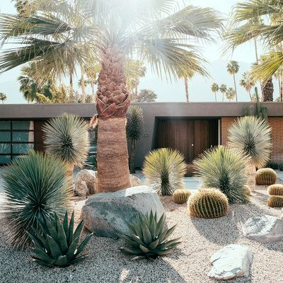 In the pictured front yard, the sturdy trunks of California fan palm (Washingtonia filifera) anchor the space. The landscape is studded with Agave 'Sharkskin', feathery Yucca rostrata, and golden barrel cactus. The tall Mexican fan palms, Washingtonia robusta, were preexisting on the property.
