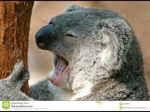 BBC News Australia expected to list koalas as endangered species