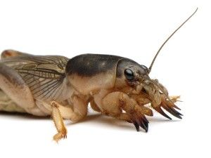 Life Lessons From a Mole Cricket- must read!