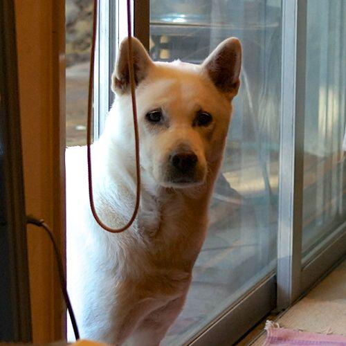 Kishu Dog, almost 8 years