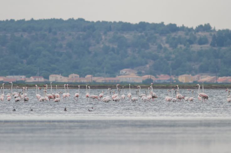 Gewone flamingo