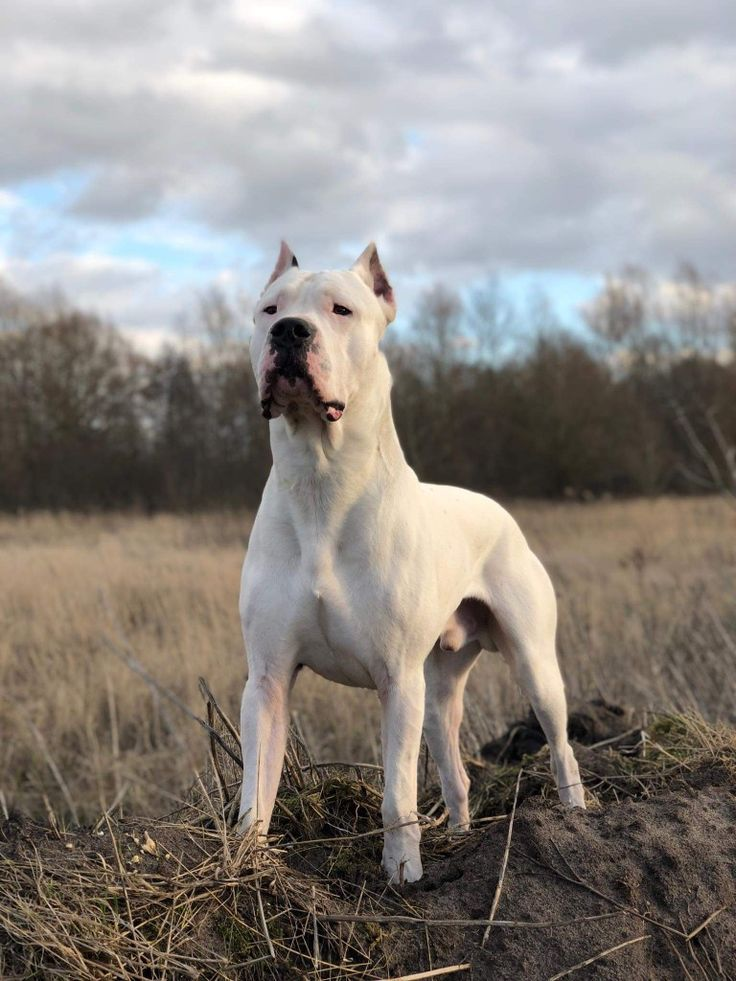 Hannibal 19 Months From Germany Dogo Argentino Dogoargentino Dog Argentino Dogs Dog Breeds