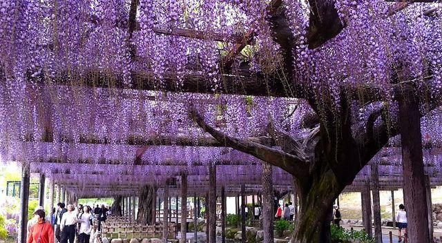 Glicina, la planta venenosa más linda de todas http://blogs.lanacion.com.ar/jardin/abono-2/glicina-la-planta-venenosa-mas-linda-de-todas/