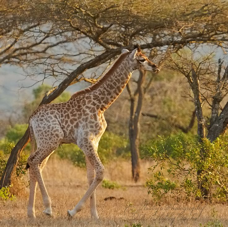 Young Giraffe strolling in the field
