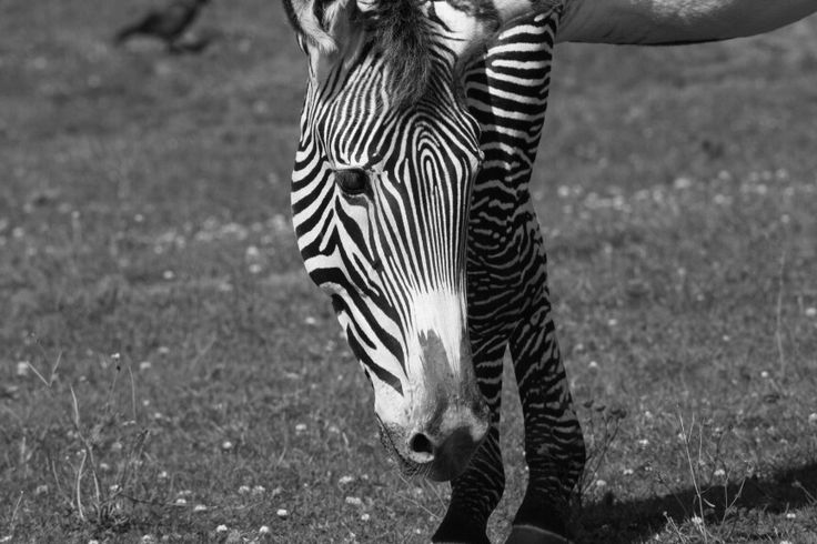 Zebra chester zoo (our trip to the zoo)