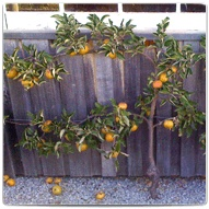 Woodbridge Fruit Trees
