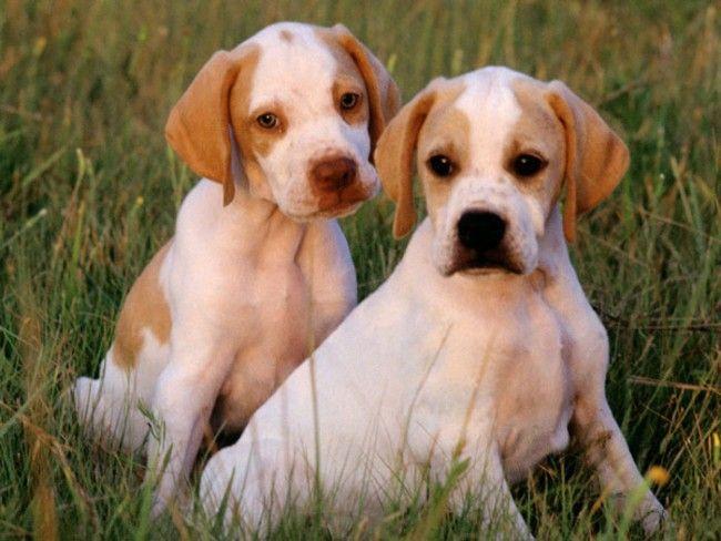 Pointer-ingles-cachorros   Los ejercicios son muy importantes en estos perros, y se recomienda armarles rutinas vigorosas de ejercicio, como caminas rápidas o largos paseos, ya que son muy activos y disfrutarán de descargar su energía.