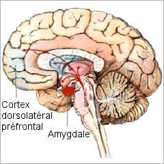 Trouble de personnalité limite: des anomalies cérébrales dans la régulation des émotions | Psychomédia