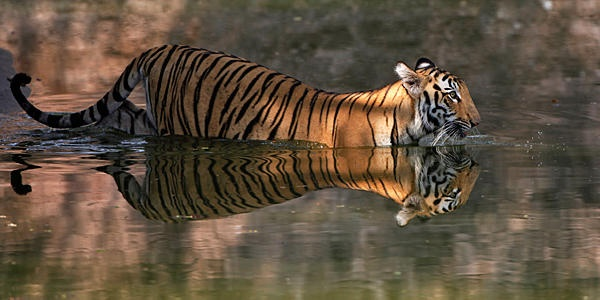 A Bengal tiger wades in a pool at his enclosure at the Nehru Zoological Park in Hyderabad, India, May 12.