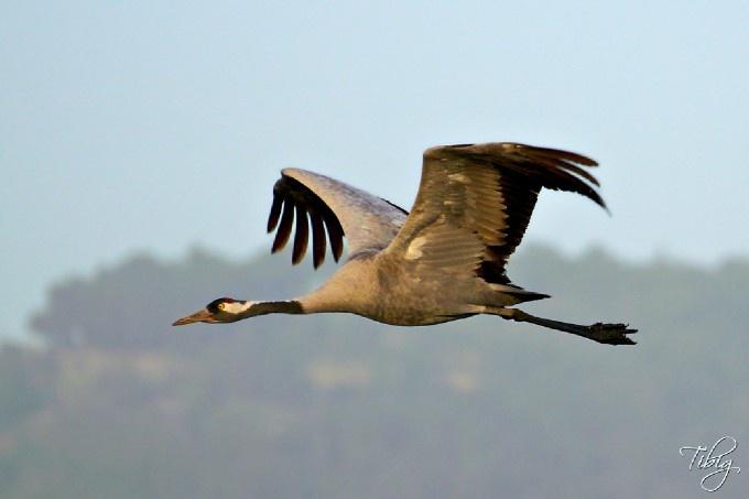 Crane by Tibi Galambos