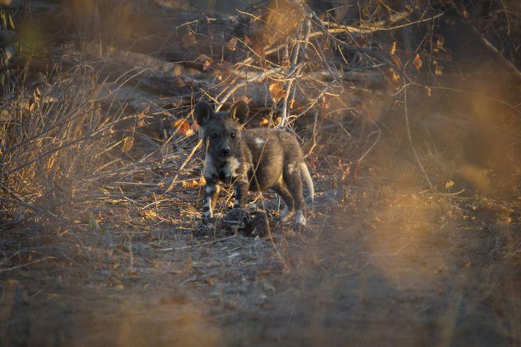 8 Wild Dog Pups Seen in the Klaserie