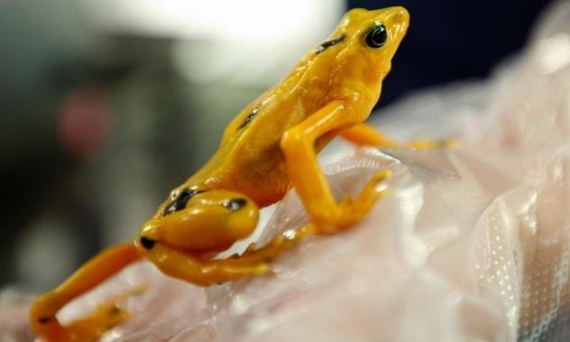 #twittercritter  aha! A golden frog!