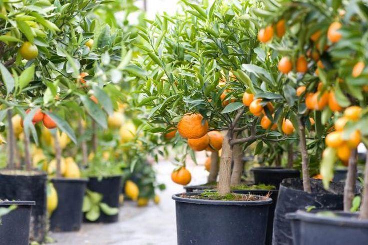 Árboles cítricos que crecen en macetas