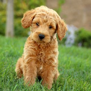 Miniature Goldendoodle Puppies For Sale in Pennsylvania