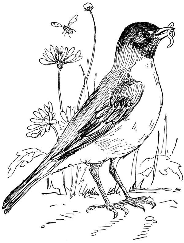 Coloring Pages Robin : Best images about gardens birds colouring pages on