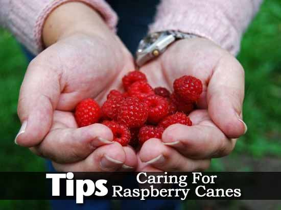 Tips On Caring For Raspberry Canes