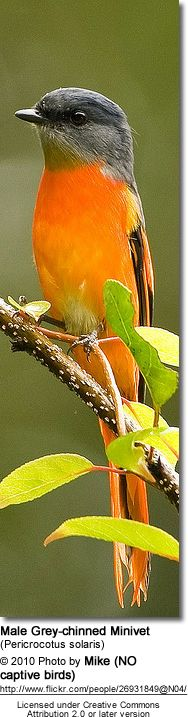 Male Grey-chinned Minivet (Pericrocotus solaris) inhabits tropical or subtropical moist lowland forests in India, China, and southeast Asia