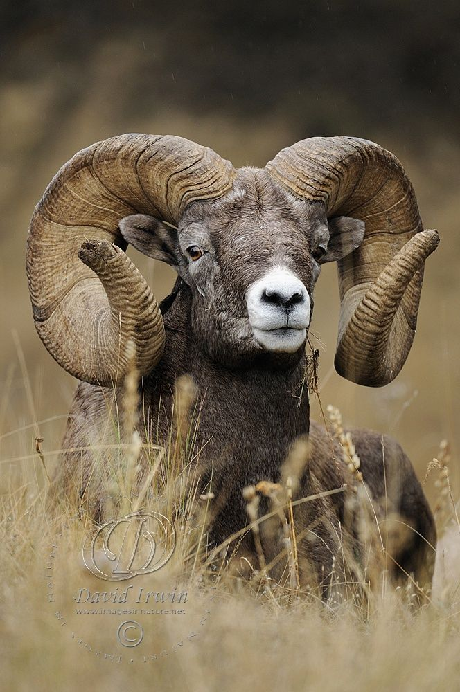Montana Monarch--Bighorn ram by David Irwin on 500px,ovis canadensis