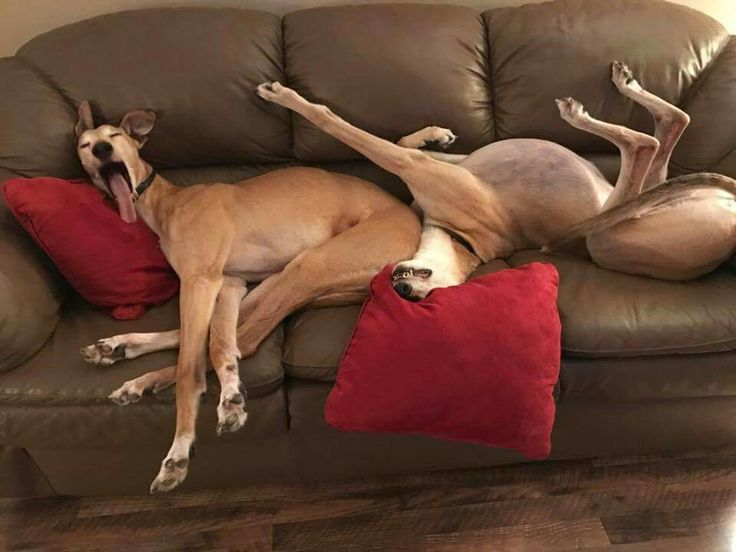 These are some seriously tired greyhounds. I'm getting  sleepy just looking at them!