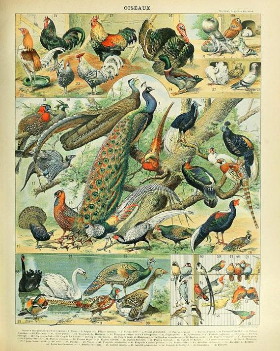 Antique Tropical Bird Poster ANTIQUE BIRD PRINT Pr Vintage Ornithology Print