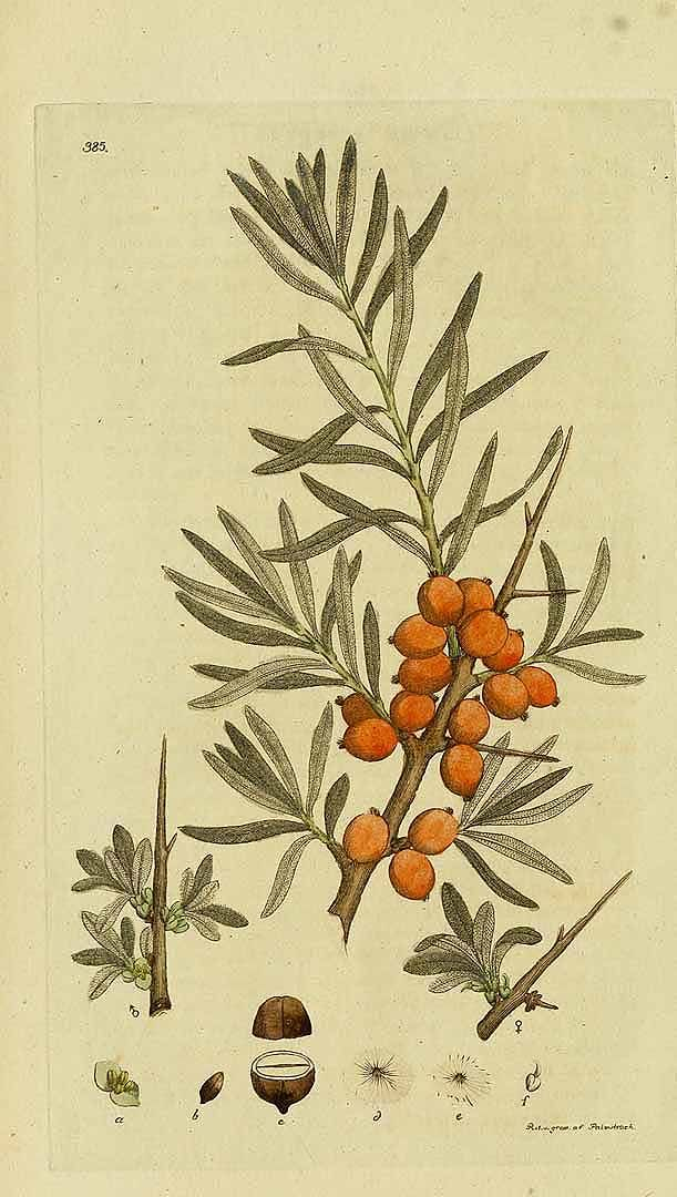 157482 Elaeagnus rhamnoides (L.) A.Nelson [as Hippophae rhamnoides L.]  / Svensk botanik [J.W. Palmstruch et al], vol. 6: t. 385 (1807)
