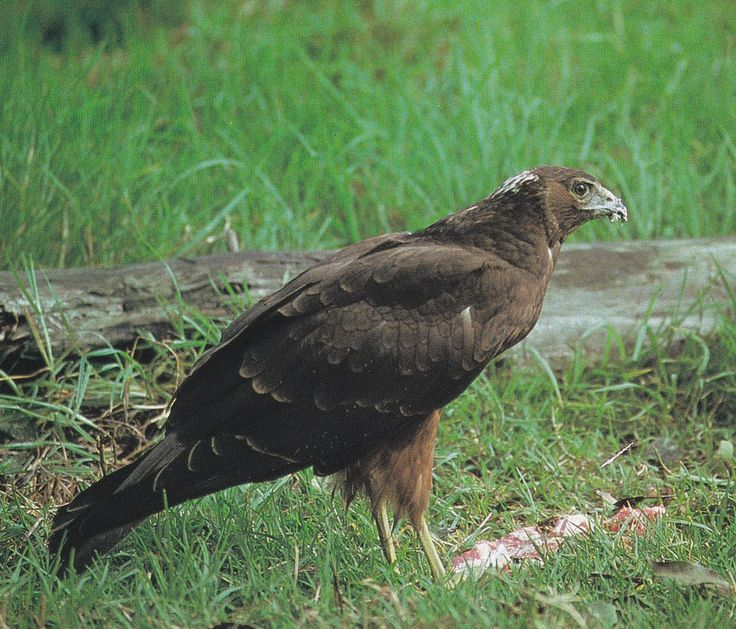 The harrier hawk was associated with chieftainship and success in battle.