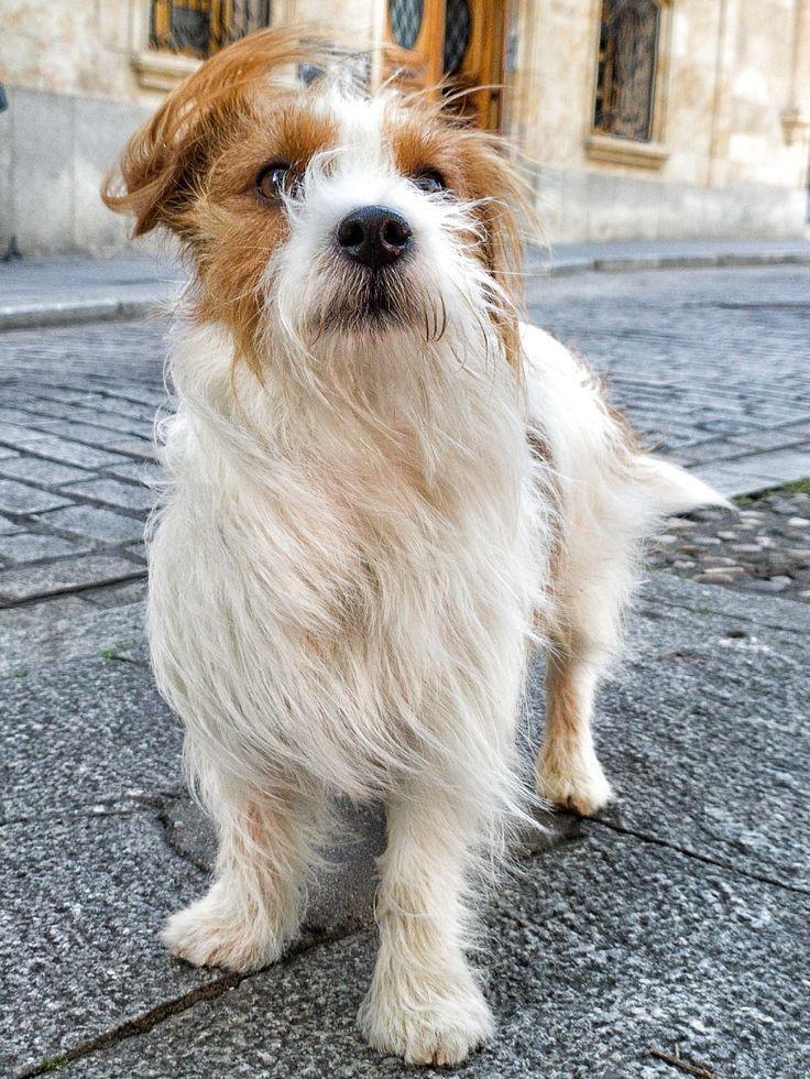 Jack Russell Terrier Steve In 2020 Jack Russell Jack Russell Dogs Jack Russell Terrier