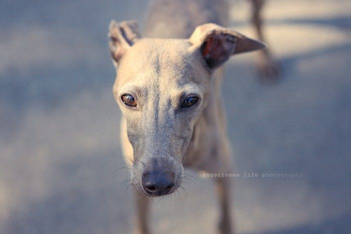Italian greyhound - the dog decorative breed, a small Italian greyhound.