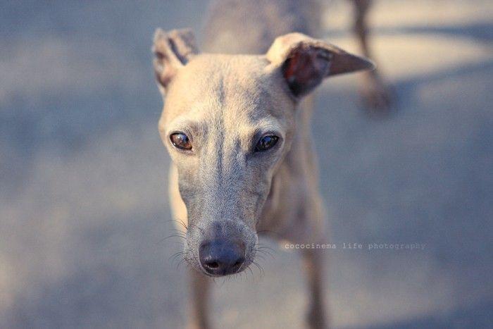 Итальянская борзая - порода декоративных собак, небольшой итальянской борзой.