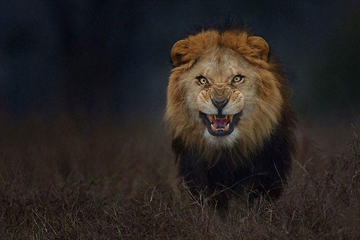 Esta foto de un león furioso fue tomada justo antes de que ATACARA al fotógrafo