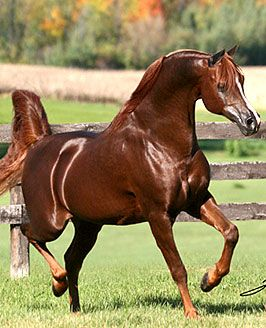 *Khadraj is the ALL-TIME leading living sire of Western Pleasure Horses.
