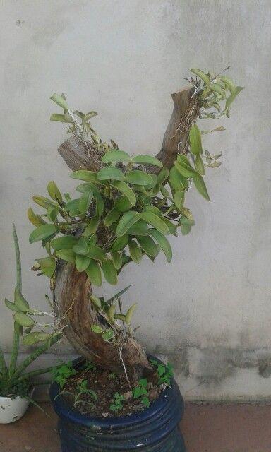 Orquídeas em tronco