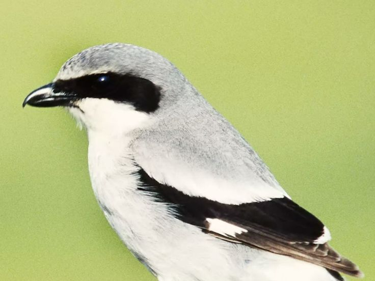 The innocent-looking shrike bashes its victims' heads in, then impales them on thorns before tearing them to shreds.
