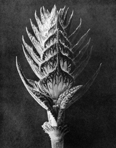 Karl Blossfeldt Photogravure. Perfect for the ornate, black and heavily lacquered, Victorian frame I just found.