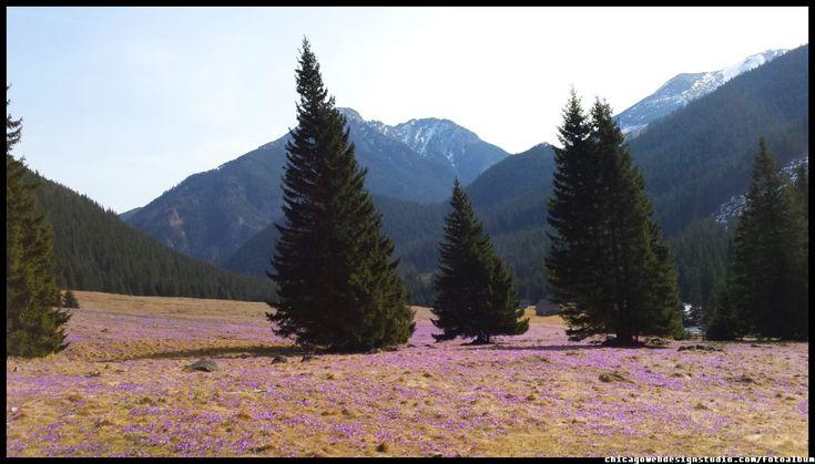krokusy-w-Dolinie-Chocholowskiej #Tatry #Dolina#Chochołowska #krokusy #Polana Chochołowska #góry #Mountains #Poland #Polska #Zakopane