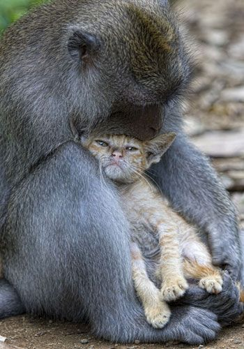A macaque monkey rocks his cat companion to sleep, after discovering her lost in the Indonesian jungle.