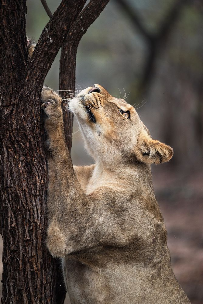 The Stretch--Lioness by Rudi Hulshof on 500px
