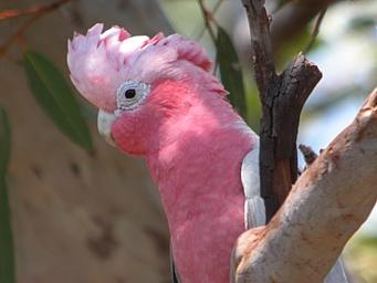 Galah parrot • aussie big things Australia tour