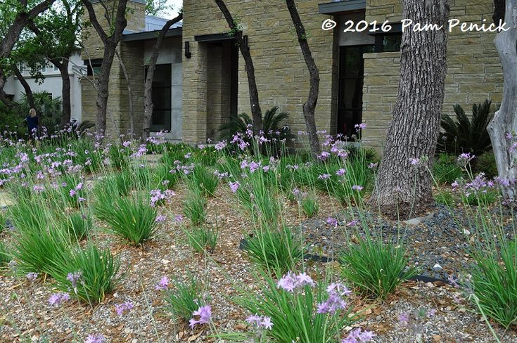 the homeowners planted tufts of society garlic (Tulbaghia violacea) instead of a front lawn. The plants were all flowering, to magical effect.