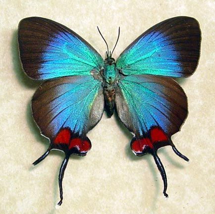 Amazing and rare blue Thecla coronata [Female] butterfly from Ecuador - with delicate swallow-tails and bright-red patches.