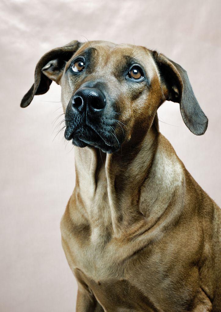 Hunting Dog That Looks Like Rhodesian Ridgeback