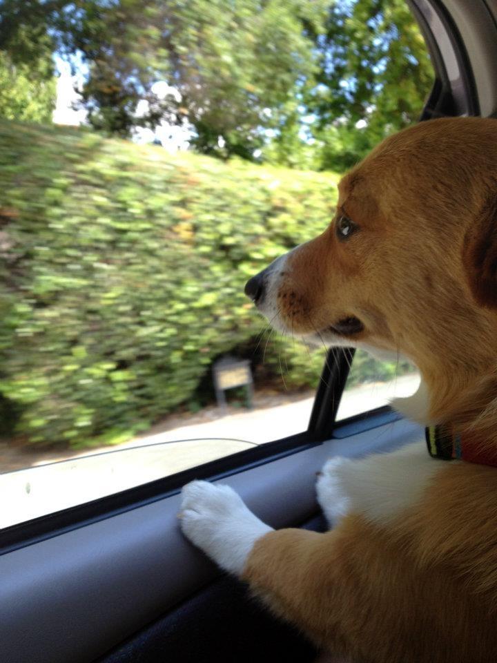 travelin' corgi: Follow Corgi, Corgi Crazy, Corgi Disorders, Obsession Corgi, Corgi Dogs, Corgi Addiction