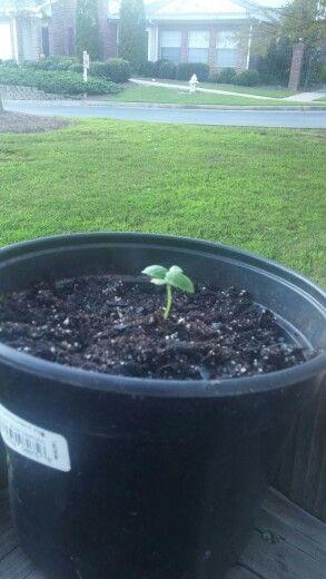 Patio container garden / growing Organic basil