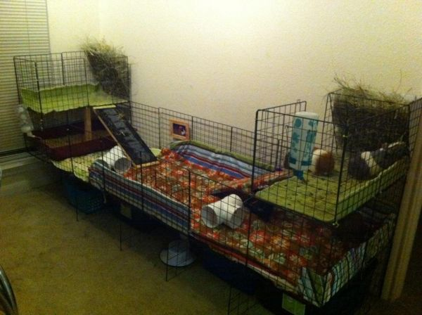A large 2x7 c c cage with two hay lofts for my four boars for Guinea pig cages for two