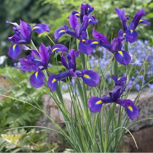 Iris De Hollande Blue Magic Dutch Iris Iris Garden Express