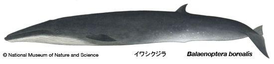 Balaenoptera borealis